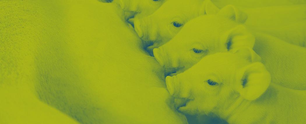 duotone image piglets